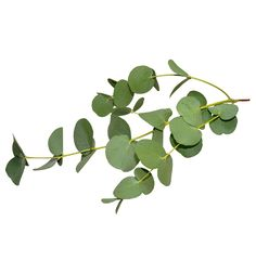 Buy Eucalyptus Essential Oil. NZ Wholesale Essential Oil Supplier – New Zealand Candle Supplies
