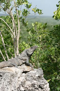 Black spiny-tailed iguana, Cobá, Quintana Roo, Mexico
