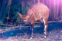 Bongo calf @tarongazoo