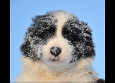 7-week-old border collie pup in the snow. So cute!