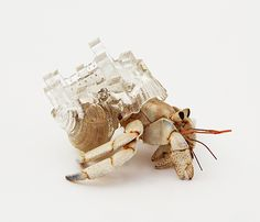 Why Not Hand Over a -Shelter- to Hermit Crabs?