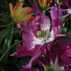 Memories from Keukenhof 2016  #tulips #keukenhof #amsterdam #holland  #travel #travelgram #instatravel #instago #mytraveldiary  #freespirit #picoftheday #nofilter #travelling #traveller #traveling #globetrotter #trip #journey #flowers #flowerspower #flowersmagic #instaflowers #flowerstagram #flowering #bestnatureshot_flower #latergram #goodmorning #buongiorno by alrc80
