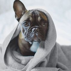 / , Mr. French, the French Bulldog from Estonia