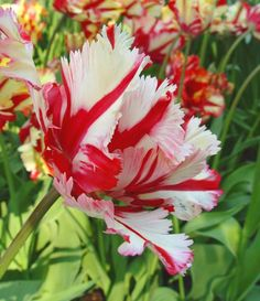 "Tulip ""Red Stripe Parrot"""