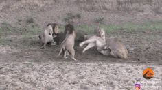 Lions fight over food   http://ift.tt/2eJSPwi via /r/funny http://ift.tt/2flnCeS  funny pictures