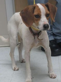 Kennel 36 (49150) Beagle Mix • Adult • Female • Medium City Of LaGrange Animal Shelter LaGrange, GA