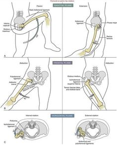 Femoral-on-Pelvic Hip Rotation - Chiropractic Therapy Human Body Anatomy, Human Anatomy And Physiology, Muscle Anatomy, Anatomy Bones, Hip Anatomy, Fitness Bodybuilding, Spine Health, Medical Anatomy, Fitness Workouts