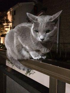 Russian Blue Cats Kittens My Dude! Grey Cats, Blue Cats, Nocturnal Animals, Animals And Pets, Animals Images, Kittens Cutest, Cats And Kittens, Siamese Cats, Korat Cat