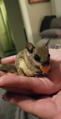 Everyone meet our newest pet Kiwi the flying squirrel. http://ift.tt/2p68Fa1