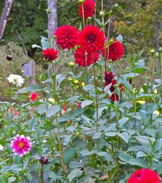 Dahlias at Fernrock Farm.