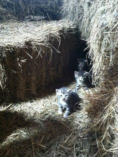 Barn Kitties