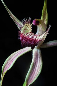 Orchid: Caladenia procera - Rare and threatened, sexually-deceptive orchid from Busselton region, Western Australia - Flickr - Photo Sharing!