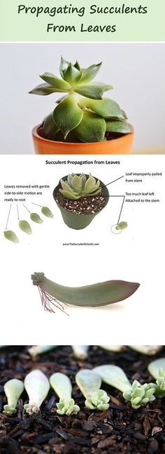 Complete guide to succulent propagation by leaf! Most succulents can be propagated from a single leaf, though some cannot. How can you know which will work and which won't? As is often the case with succulents – the plant will tell you!
