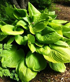 Sum and Substance Hosta......very large botanical plant, upright yellow-green leaves w/ a glossy chartreuse sheen changing to gold, sun & slug resistant, fast growth rate, 2004 Hosta of the Year.