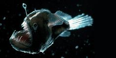 Anglerfish - color doesn't matter at the bottom of the sea. Represents seduction, false security, terror, isolation.