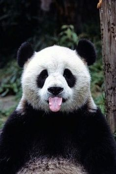 things you didn't know about pandas A panda with its tongue out! This panda got styleA panda with its tongue out! This panda got style Niedlicher Panda, Panda Bebe, Cute Panda, Panda Funny, Bored Panda, Wild Panda, Animals And Pets, Baby Animals, Funny Animals