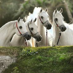 I found four white horses wesley Beautiful Arabian Horses, Most Beautiful Horses, Majestic Horse, Animals Beautiful, White Arabian Horse, All The Pretty Horses, Animals And Pets, Cute Animals, Horse World
