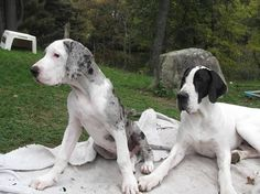 The SDP Great Danes  EXPLORE.ORG  Perry and Walter