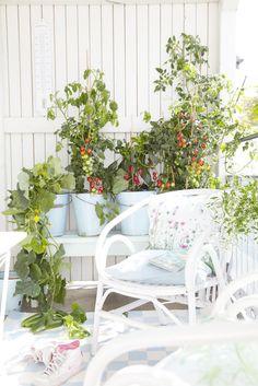 Balkongemüse: Tomaten in Balkontöpfen.