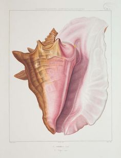 American Museum of Natural History Releases Vintage Drawings of Seashells