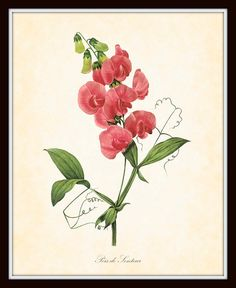 Antique French Sweet Pea Plate 1 Redoute Botanical Art Print 8 x 10 Home Decor Home and Garden Wall Art via Etsy