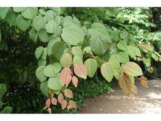 Arbre à caramel, 90/100 cm pot 1L - Cercidiphyllum japonicum : acheter en ligne sur Jardins Du Monde. Pépinière, jardinerie en ligne. Livraison partout en Europe