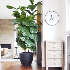 23 images that show how to style indoor plants: The ever-popular Fiddle Leaf Fig works just about anywhere. Image credit: Instagram/bowerhouse