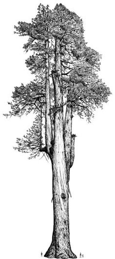 The Arco Giant, one of the largest known Coast Redwoods (Sequoia sempervirens) [Robert Van Pelt] Giant Sequoia Trees, Giant Tree, Big Tree, Redwood Tattoo, Sequoia Sempervirens, Tree Stem, Time Tattoos, Tatoos, Doodle Images