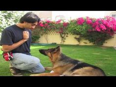 How to teach ANY dog the perfect STAY! (part 1) Service Dog Training, Puppy Training Tips, Service Dogs, Training Your Dog, Potty Training, Beagle Dog, Pet Dogs, Doggies, Husky Puppy