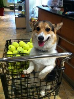 My pup Mya would be in corgi heaven with all these tennis balls!!  Anybody else's corgis obsessed with chasing them?