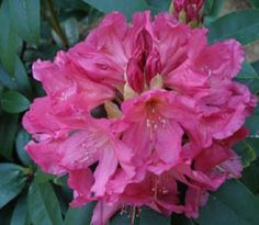 Rhododendron 'Ruth Mottley'
