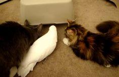 モフモフの猫たち、白いオウムとかくれんぼを楽しむ « 猫ジャーナル