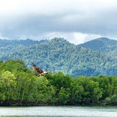 바다독수리~~♡ 맹그로브나무 섬 탐험하는 보트 위에서 내가 찍어쩡 캬캬  쥬기딩.ㅋㅋ  #Langkawi#Mangrove#맹그로브#랑카위맹그로브#fourseasonslangkawi#seaeagle