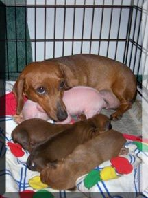 This doxie mom adopted a piglet and acts like it's one of its own pups. Animals are amazing!