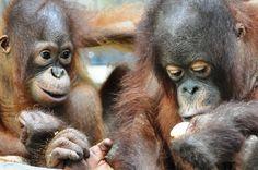 Luna...... sweet baby girl....  We miss you!  http://redapes.org/sintang/jaan