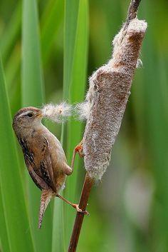 Marsh Wren Gathering For His Nest-