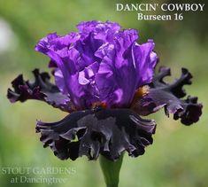 Iris DANCIN' COWBOY