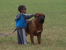A boy and his Dogue de Bordeaux.