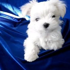 Dog And Puppies Happy .Dog And Puppies Happy Cute Teacup Puppies, Cute Puppies, Dogs And Puppies, Cute Dogs, Westie Puppies, Cute Baby Animals, Animals And Pets, Funny Animals, Yorkie