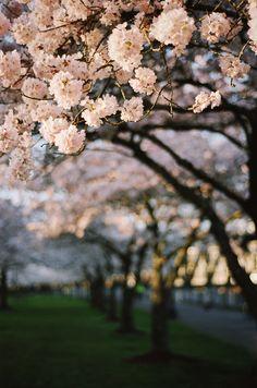 https://flic.kr/p/E5yJa2 | sakura bloom, part three | Of previous years.  Image made with my Nikon F100.