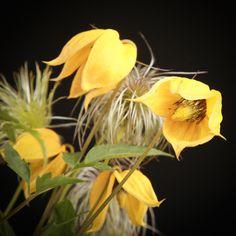 Certi Clematis Lambton park, gele Arabella, Klimplanten, Clematis diversifolia, Bloemen, Planten, webshop, online bestellen, rozen, kamerplanten, tuinplanten, bloeiende planten, snijbloemen, boeketten,  orchideeën kopen