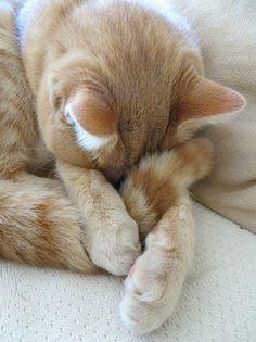 IMG_1497 | Flickr - Photo Sharing! pale orange tabby curled forward sleeping