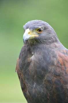 Harris Hawk 01 by Judy M Tomlinson Photography http://www.judymtomlinsonphotography.ca