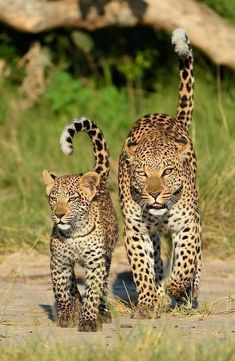 Pin by irena on wild cats - leopards & jaguars Nature Animals, Animals And Pets, Baby Animals, Funny Animals, Cute Animals, Beautiful Cats, Animals Beautiful, Big Cats, Cats And Kittens