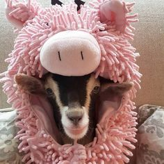 Rescue goat gets a duck costume — and it eases her anxiety.