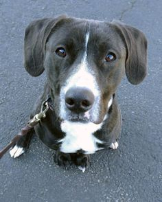 Adoptable Dog: Fred - Labrador Retriever Mix (Carnford, NJ) #pets #animals #adoption #rescue #dog