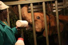 Die kleinen Elefantenwaisen wurden in den speziellen Transporter gebracht und wurden dann vom Waisenhaus bei Nairobi in die Auswilderungsstation Ithumba gebracht.   Bild: (c)DSWT