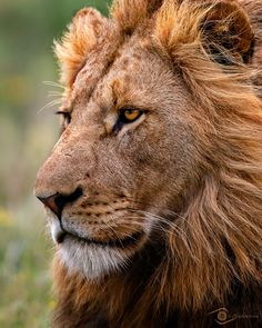 A close-up portrait of the King of the Pride looking very regal as he surveys his kingdom.  I found this photo when searching my archives for a World Lion Day photo. Decided that there is always room for another photo of these great cats! #lions #wildlife