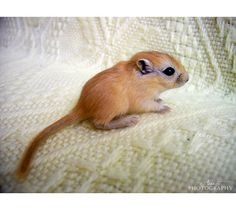 Baby gerbil. Makes me miss my little guy.