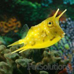Boxfish and cowfish on Pinterest Fish, Cows and Tropical Fish
